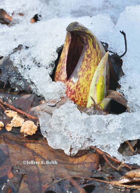 Skunk Cabbage melting snow. March 26, 2013, Owen County, Indiana.