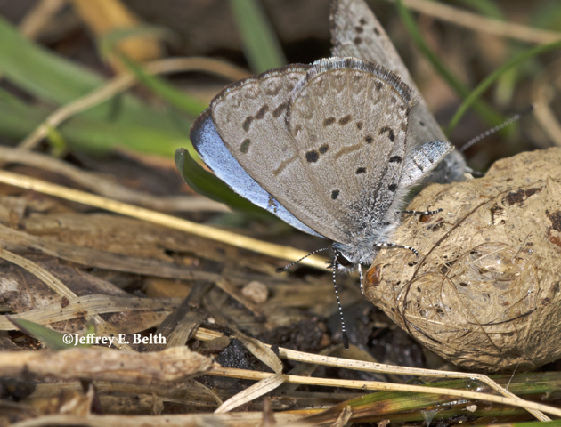 A Spring Azure sips moisture from coyote dung. The right forewing is offset slightly and the blue upperside is visible. Note the soft, fuzzy quality of the blue and lack of distinctly visible veins. March 27, 2016, Monroe County, Indiana.
