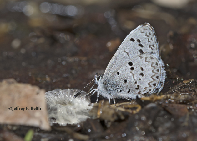 A Spring Azure (Celastrina ladon) sips moisture from a bird dropping. Note the darker color of the wings and more distinct chevrons on the outer edge of the hindwing. March 27, 2016, Monroe County, Indiana.