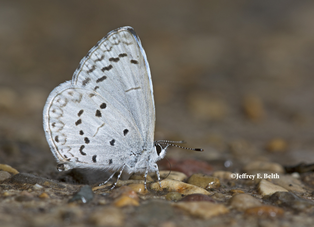 A Summer Azure sips moisture from our sidewalk. Note the relatively pale color and indistinct chevrons on the outer edge of the hindwing. March 14, 2016, Monroe County, Indiana.