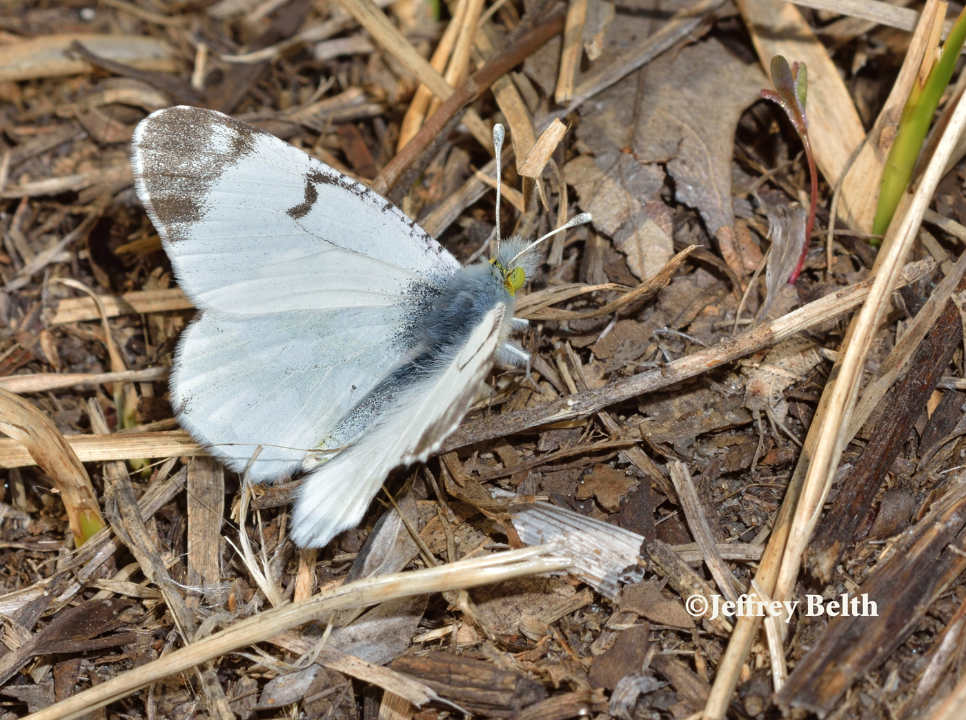 Olympia Marble (Euchloe olympia). April 16, 2015, Lake County, Indiana.