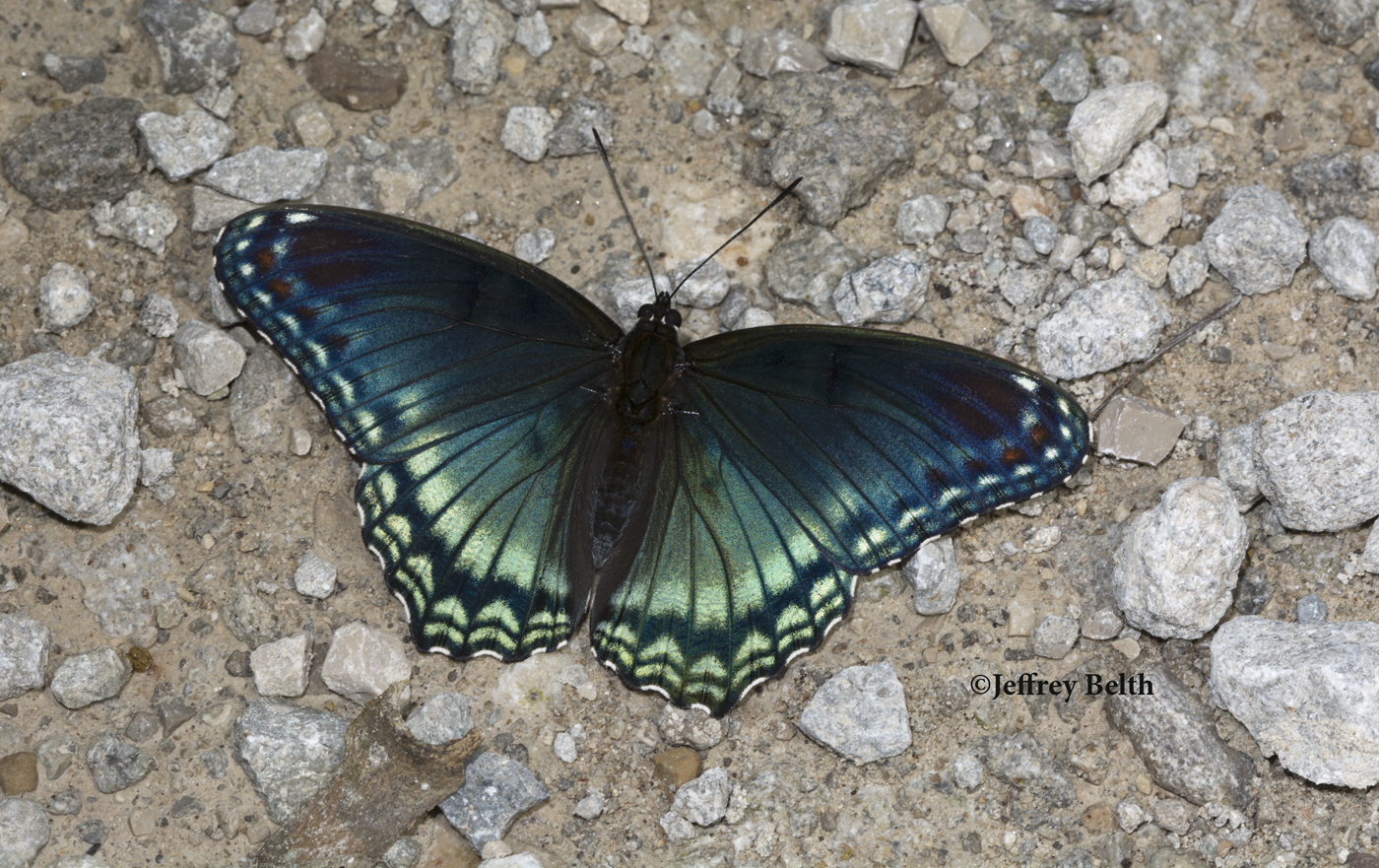 "Red-spotted Purple (Limenitis arthemis astyanax), form ""viridis."" August 18, 2016, Jackson County, Indiana."