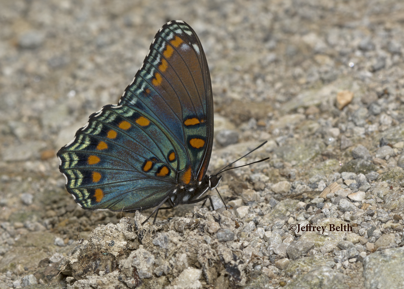 Red-spotted Purple (Limenitis arthemis astyanax). August 18, 2016, Jackson County, Indiana.