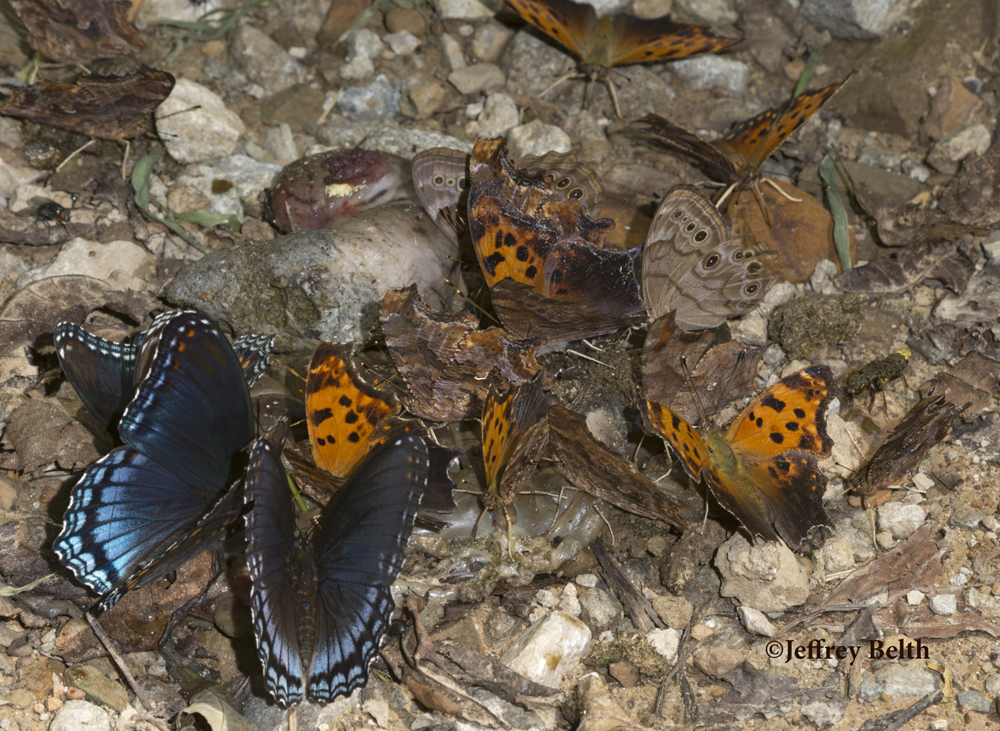 A gathering of butterflies on carrion. Left to right: Red-spotted Purple, Question Mark, Eastern Comma, and Northern Pearly-Eye. Also on far right is rove beetle.